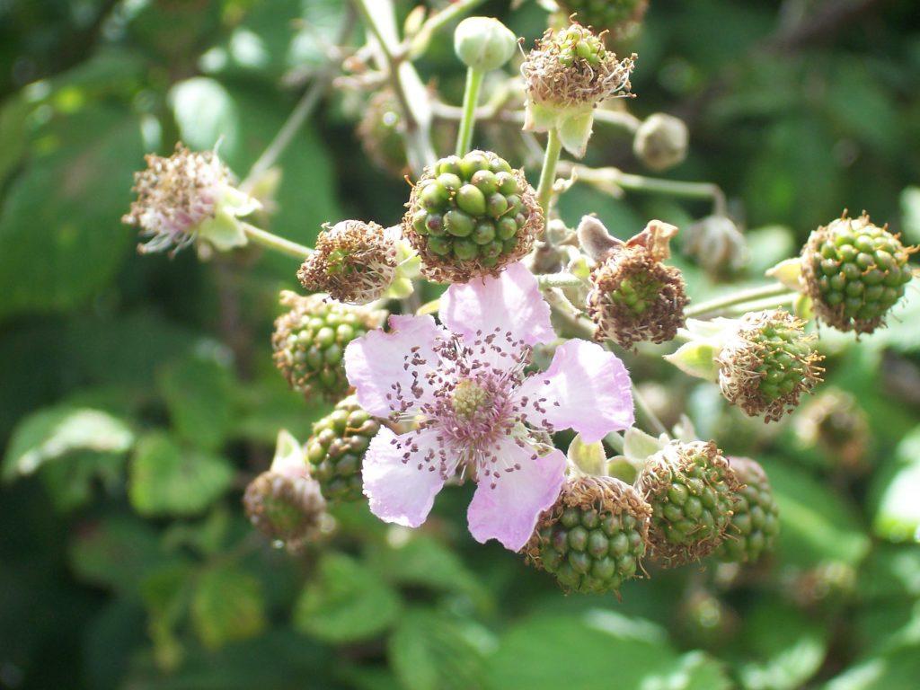 Ronce en fleur